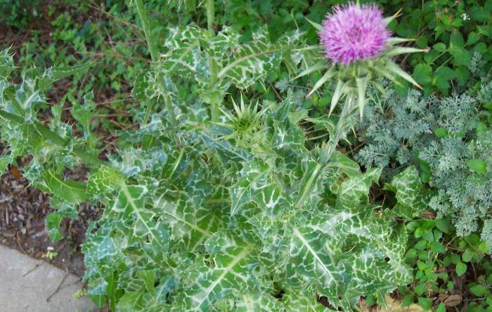 Лекарственная трава расторопша