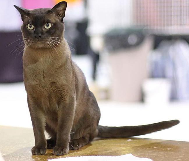 бурманская порода кошек