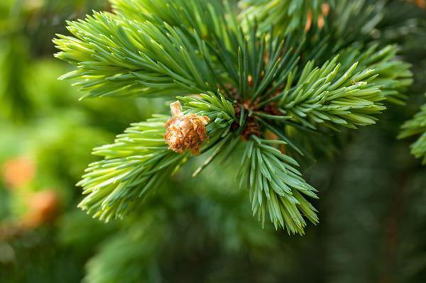 пихта хвойное дерево