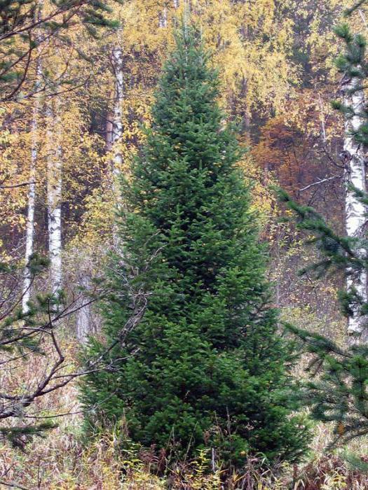 размер взрослых деревьев пихты сибирской