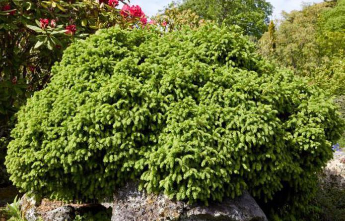 как выглядит дерево пихта