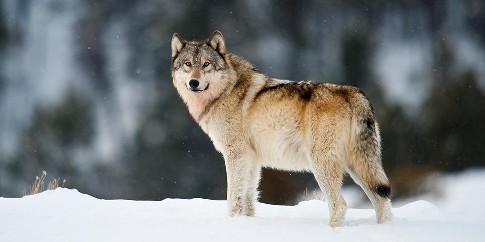 сибирский волк зимой фото пес