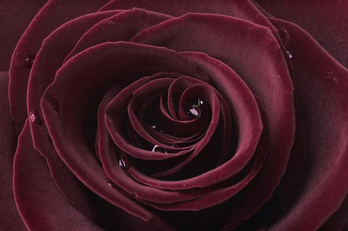 легенды о черных розах