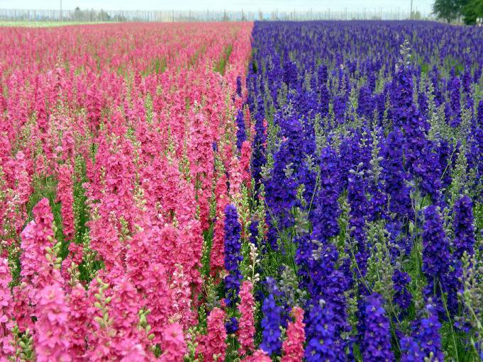 целебная трава семейства лютиков