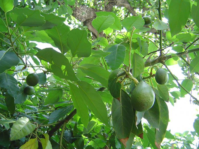 авокадо рослина
