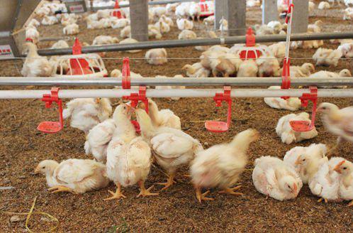 Поилки для кур: делаем сами Агропромышленный вестник