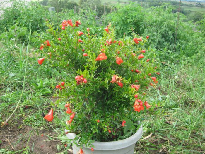 Гранат Punica Описание виды и выращивание граната