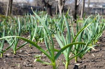 выращивание ярового чеснока