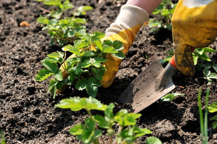 Как красиво посадить клубнику фото