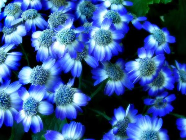 Синие цветы фото