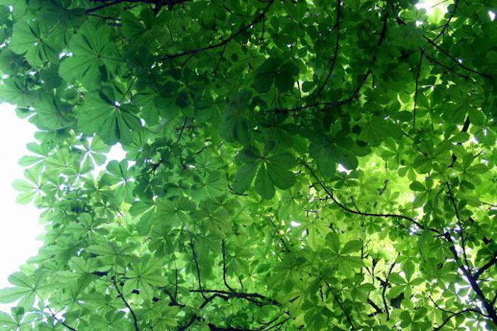 Как выглядит лист каштана осенью фото