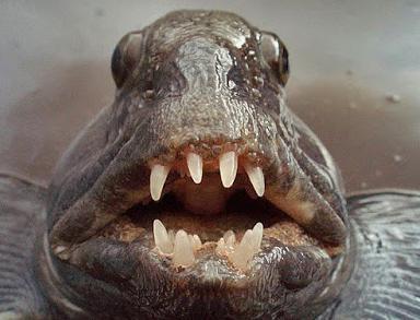 Зубатка: польза и вред, калорийность и фото