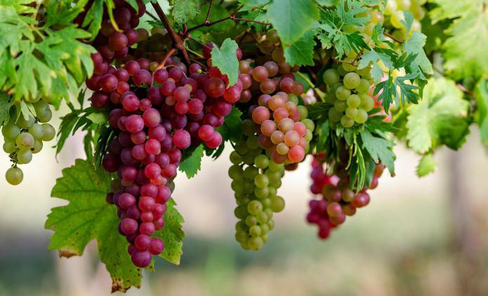Чем полезен виноград для организма