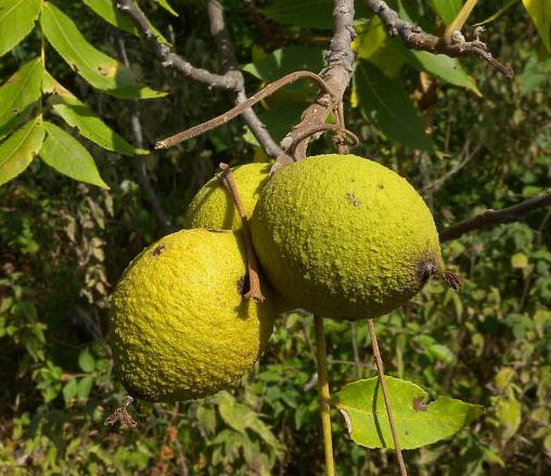 зеленая скорлупа грецкого ореха