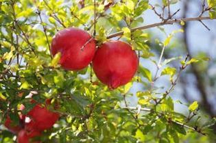 гранат фрукт кладезь здоровья