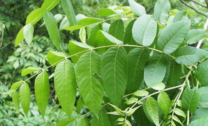 Травяной чай из ферментированных листьев чёрного ореха и персика – купить с доставкой за 150