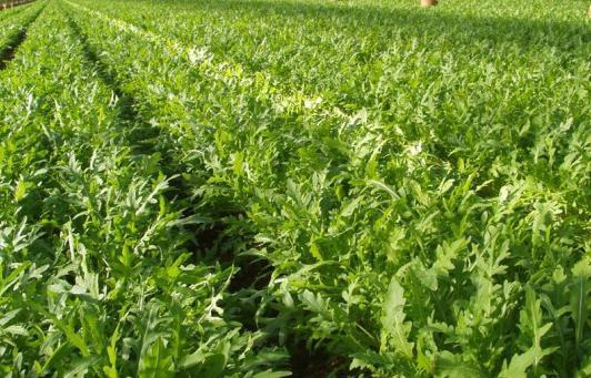 Салат рукола полезные свойства и противопоказания