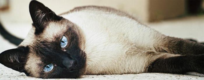 Психология тайских кошек