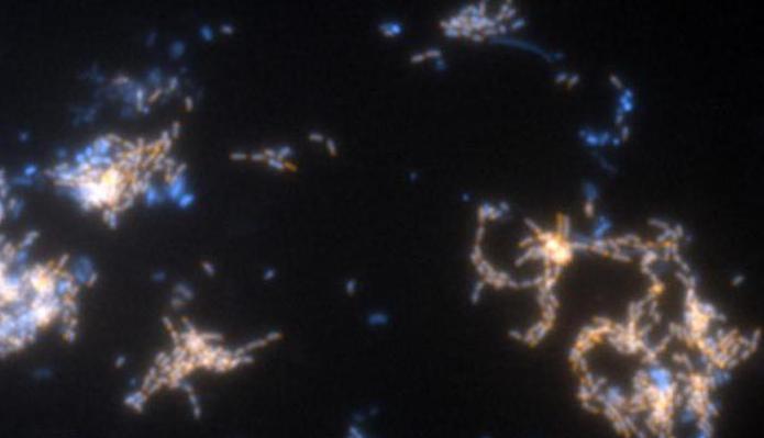 нитрифицирующие бактерии фото