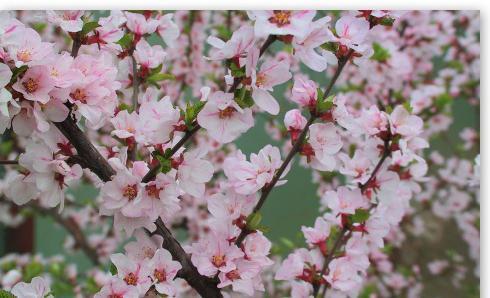 сонник деревья в цвету