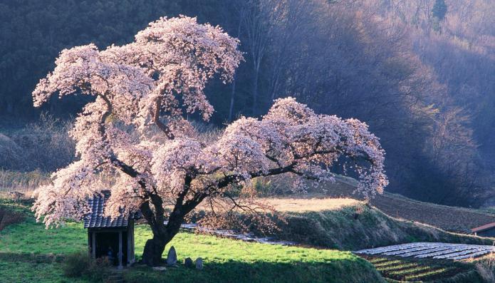 деревья цветут сонник