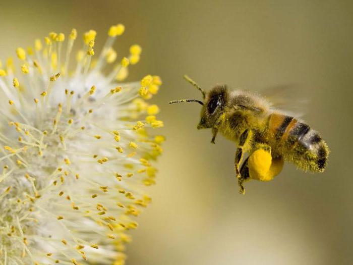 пчелиный продукт перга