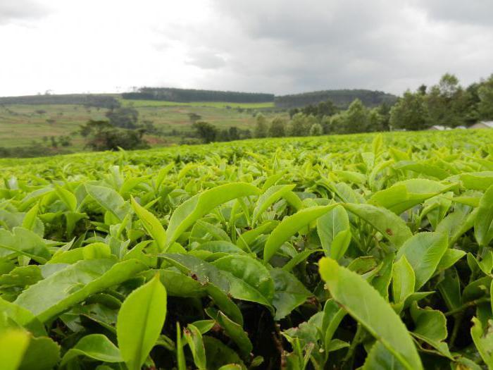 какие бывают зеленые чаи