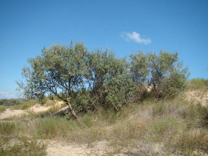 дерево лоха серебристого полезные свойства