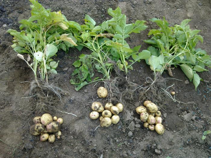 цветы картофеля при онкологии