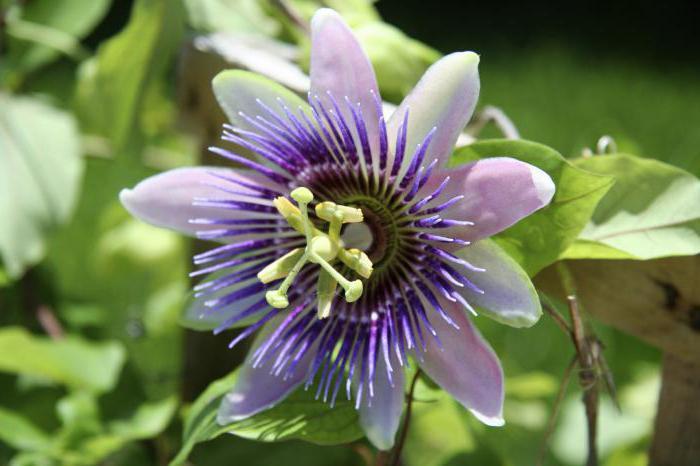 Passiflora гомеопатическое лекарство как употреблять