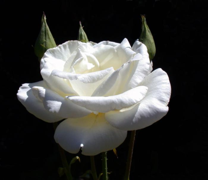 роза паскали чайно гибридная фото если сделано