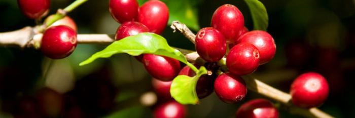Растение кофе