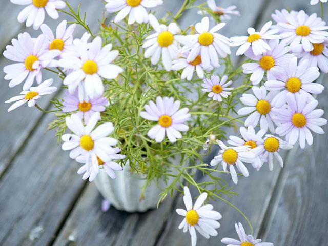 Виды садовых ромашек