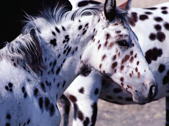 Лошадь породы аппалуза: фото, описание