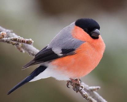 оседлые птицы кочующие птицы