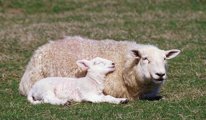 Как называется ребенок овцы