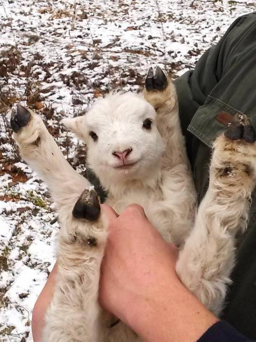как называют детеныша овцы