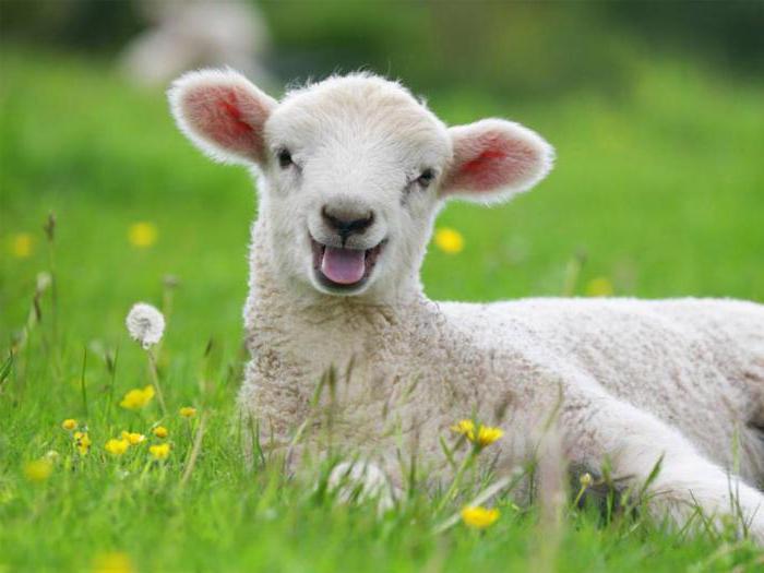 Секс барана и овцы