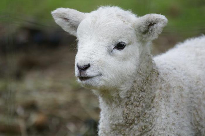 как называется детеныш овцы