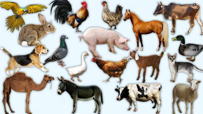 одомашненные животные