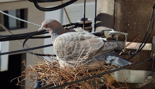 Почему голуби не сидят на деревьях: причины и интересные факты