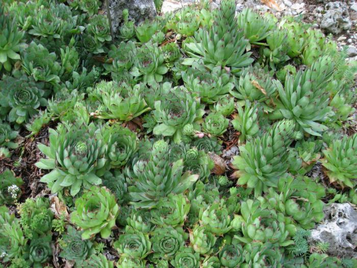 где растет растение каменный цветок