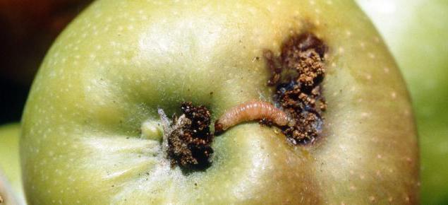 плодожорка яблоневая