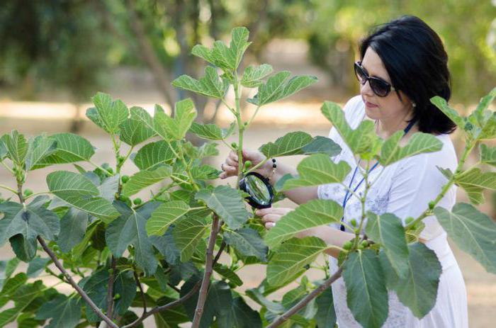 Инжир выращивание в крыму