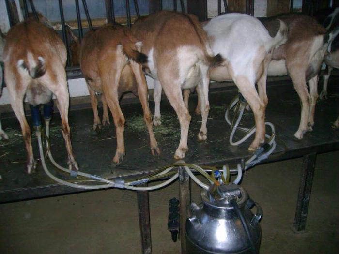 Как доить козу, чтобы она давала много молока