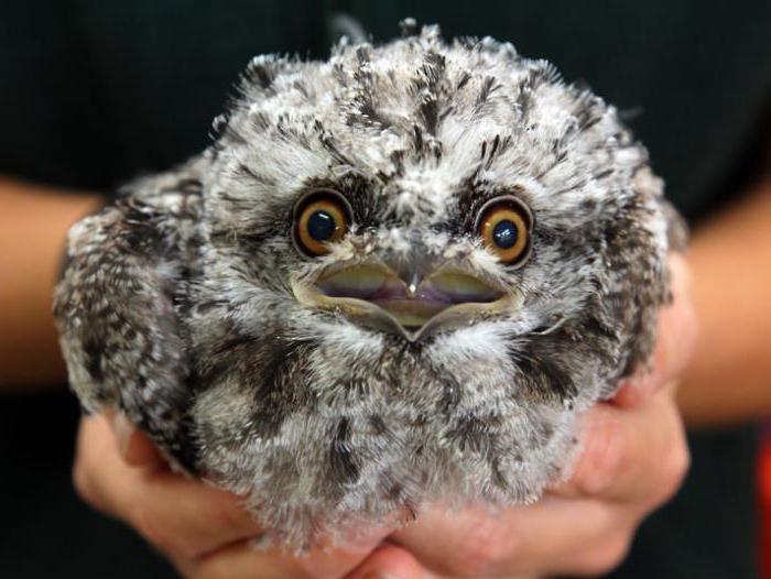 птенец ушастой совы