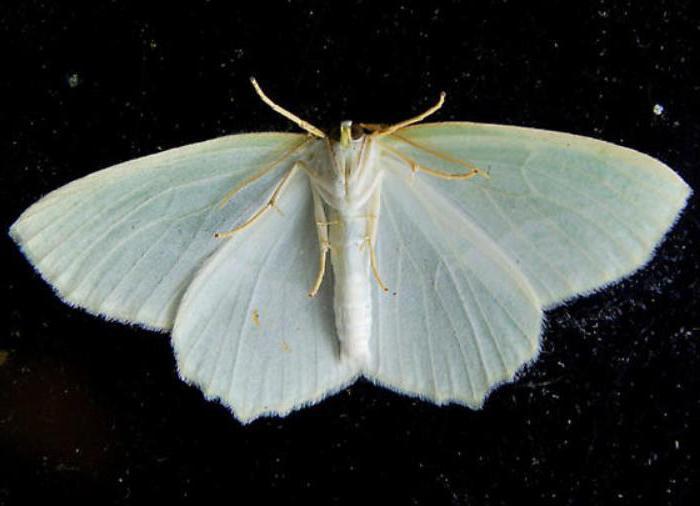 мелкие бабочки похожие на моль