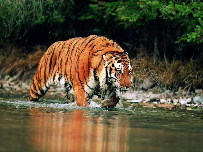 самый большой тигр в мире