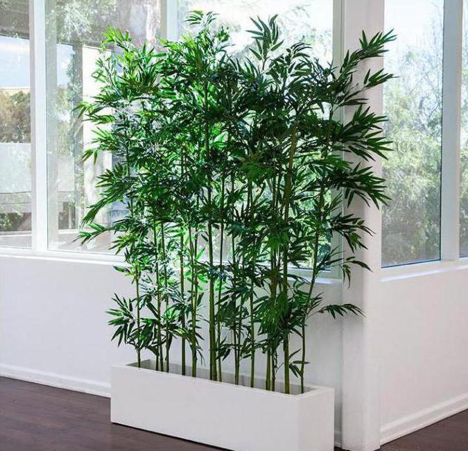 скорость роста бамбука
