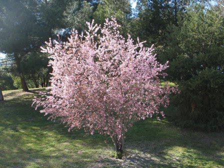 пирамидальный сливово вишневый гибрид